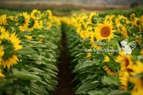 Sunflowers Waialua Hawaii